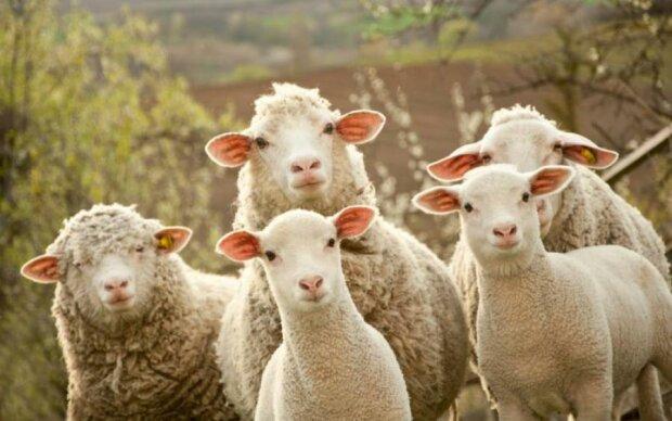 Вівці під дурманом розгромили ціле село