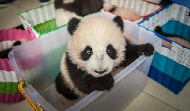 Як проходить день в садку для панд (фото)