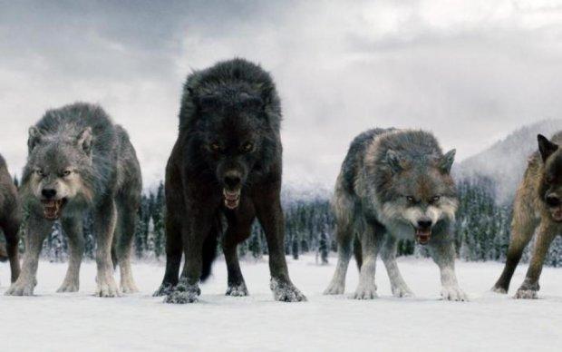 Чиновник звинуватив вовків у стихійних лихах