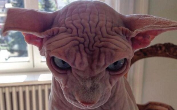 Уберите от экрана детей: самого уродливого кота мира нашли в Instagram