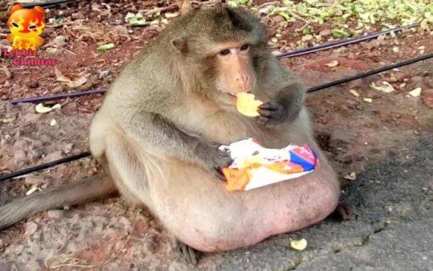 У Таїланді розкабанілу мавпу посадили на урядову дієту: фото