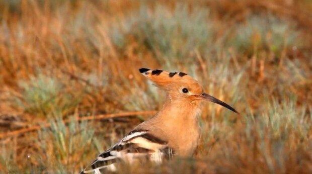 """В Днепре засекли странную птицу с """"веером"""" - известный фотограф охотился три года"""