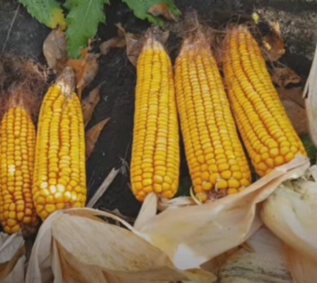 """Украинцев """"убили"""" цены на кукурузу: 50 грн за кочан"""