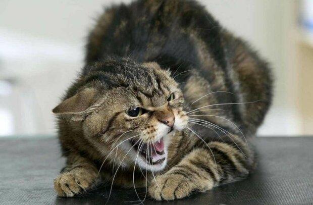зляканий кіт, ілюстративне фото з вільних джерел