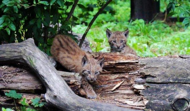 У Київському зоопарку народилися двоє рисенят