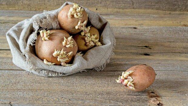 проросла картопля, фото з вільних джерел