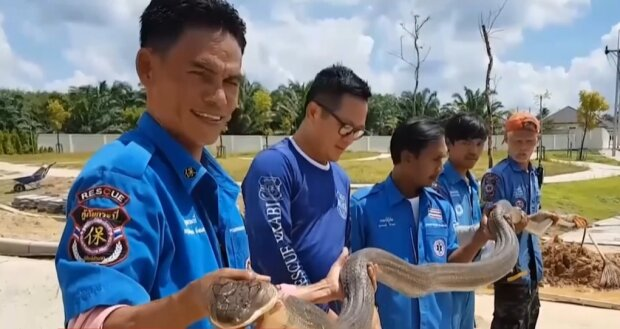 На отруйну кобру голіруч: тайський мисливець за зміями самотужки впіймав 4-метрову рептилію