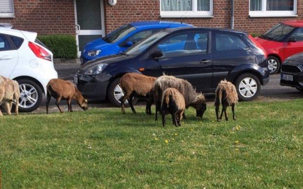 Тварини розгулювали вулицями Кельну після втечі з зоопарку