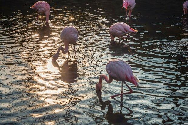 розовый фламинго, фото Pxhere