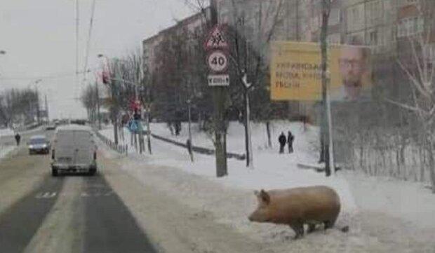 Свиня у Франківську, фото Олександр Заславський: Facebook Івано-Франківськ. Карантин