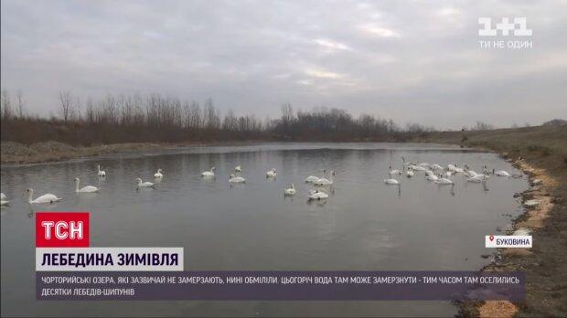 На Буковине сотни лебедей в смертельной опасности, черновчане - за дело: могут не дожить до весны