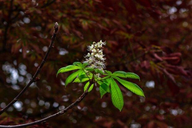В Запорожье в октябре зацвели каштаны – привет от мая посреди осени