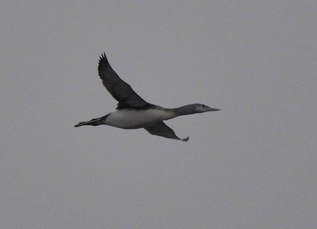 Рідкісний птах над Чорнобилем, фото: Facebook