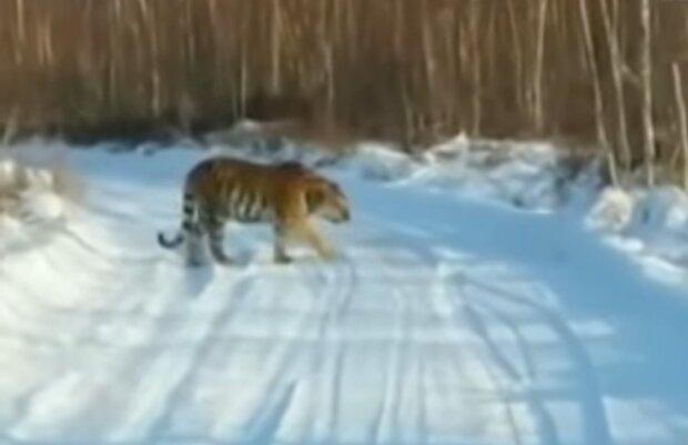 Тигр, кадр из видео