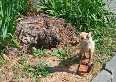 Центр Тернополя оккупировала лиса - живёт в клумбе и обожает селфи
