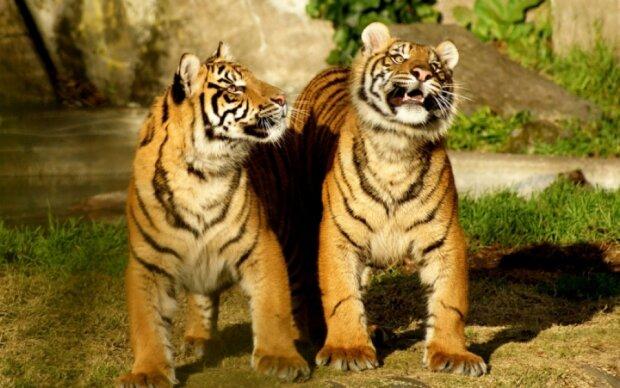 Популяцию редких тигров заметили в Таиланде - видео