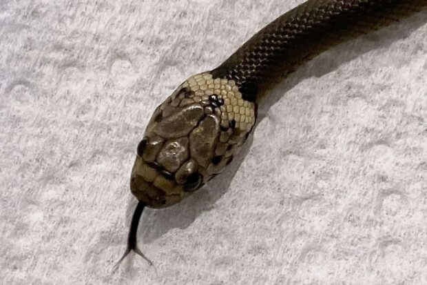 Змія з Сіднея, фото: NLH