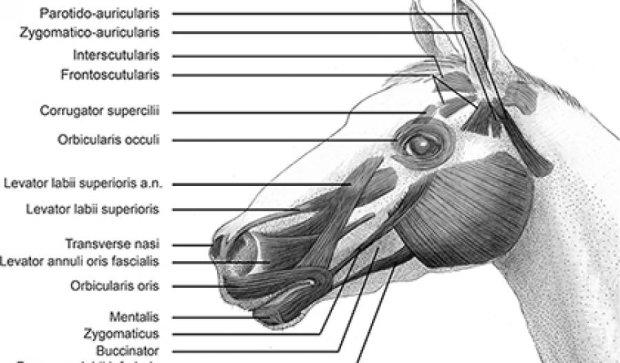 Кінь має близьку до людської міміку - вчені