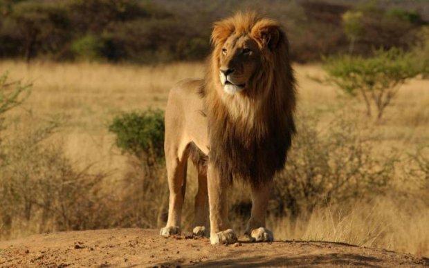 У Криму лев напав на п'яну російську туристку