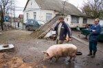 Свині, фото ілюстративне