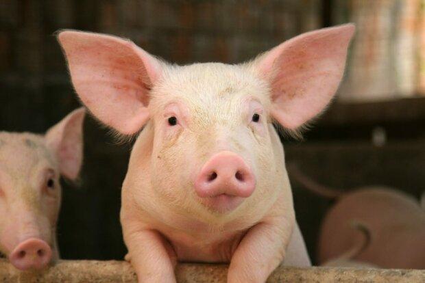 Як свинка-герой врятувалася з ферми і змінила життя однієї родини: ми з ним не просто так зустрілися
