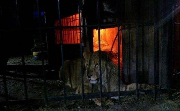 Вместо девушек в сауну к жителю Запорожья явился лев