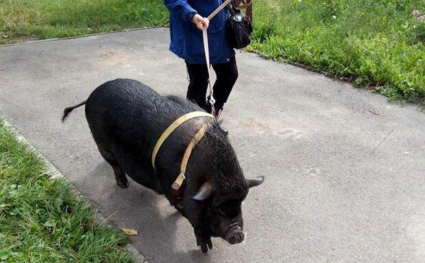 В киевской квартире проживает свинка, фото: Вечерний Киев