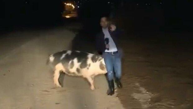 Оставьте хрюшку в покое: разъяренная свинья атаковала журналиста в прямом эфире, эпичное видео