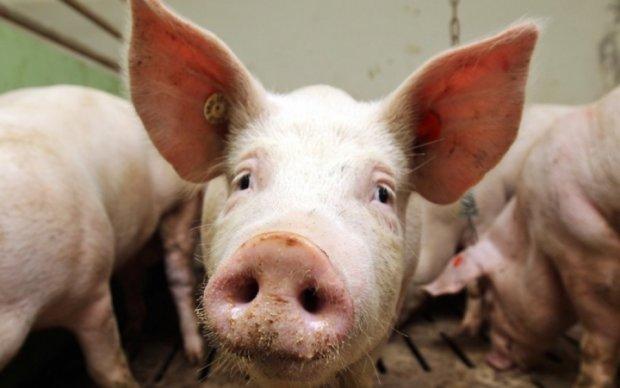 Чума свиней вернулась в четыре области Украины