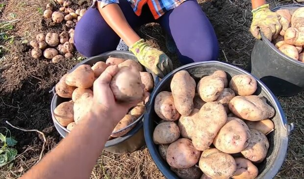 Вирощування картоплі, скріншот: YouTube