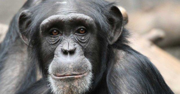 Самый необычный референдум в истории: шимпанзе получат права человека