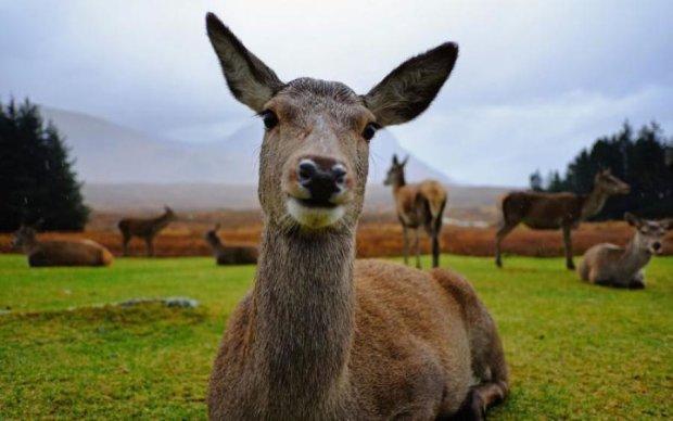 За шоколадками: олені стали постійними клієнтами магазину