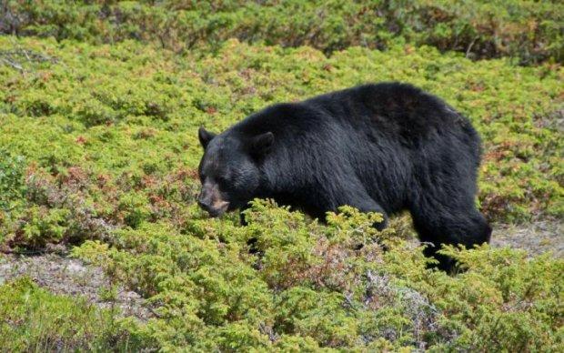 Ведмідь вийшов вполювати мисливця: відео