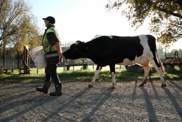 Корова, фото: Getty Images