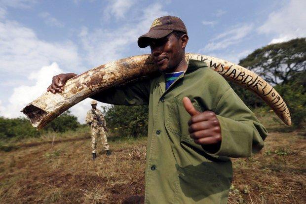 Слоны эволюционировали назло человеку: бивни больше не достанутся браконьерам