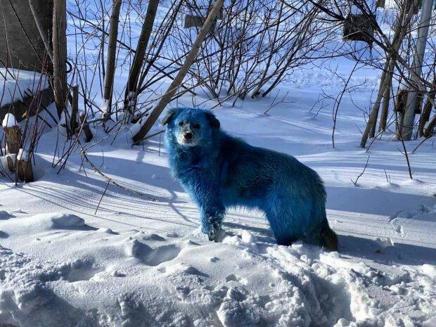 Синие собаки, фото: Telegram