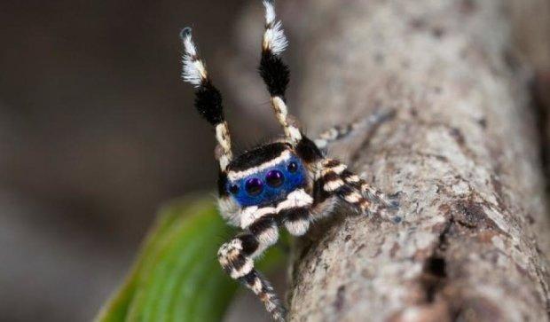 Учені відкрили наймилішого павука планети (відео)