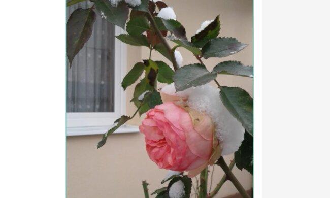 """На Закарпатті троянди з'їхали з глузду: """"Засніжене диво"""""""