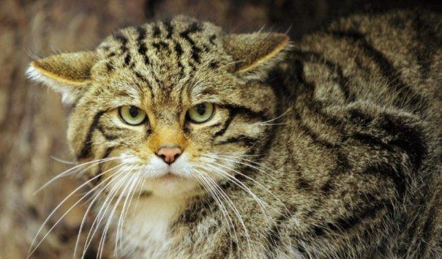В Австралии за пять лет уничтожат два миллиона диких котов