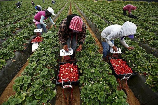 Сбор ягод в Польше, фото из свободных источников