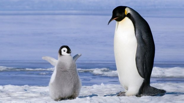 Пінгвіни підтримали легалізацію гей-шлюбів в Ірландії: живуть душа в душу