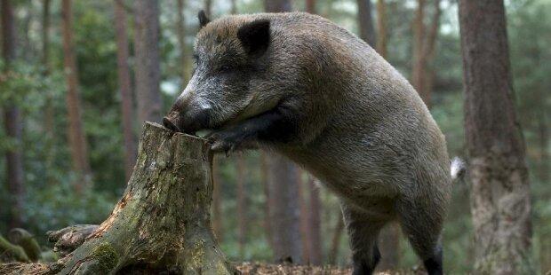Дикі свині, фото: lutsk.eu