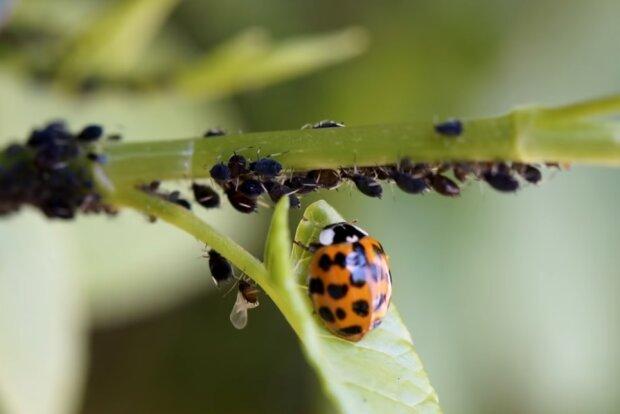 Тля больше не будет проблемой, уничтожить насекомых можно простыми средствами
