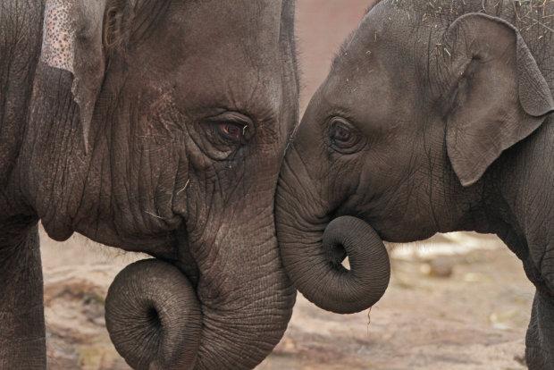 Вміють рахувати і розрізняти предмети: вчені розкрили шокуючі факти про слонів