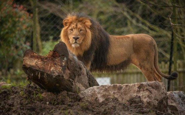 До слез: львицы встретили свою кормилицу спустя семь лет