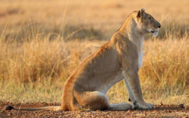 Левиця прихистила маленьку антилопу: кадри розчулять будь-кого