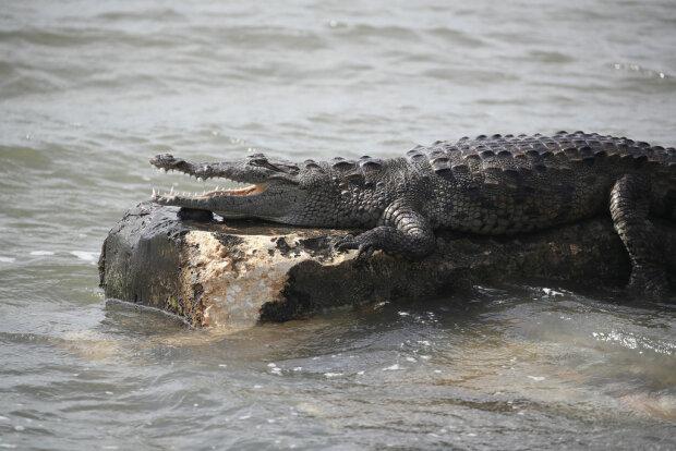 Крокодил, фото иллюстративное - Getty Images