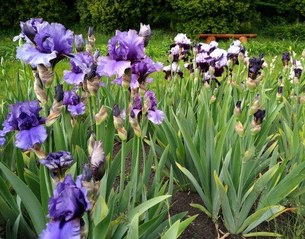 У Львові в ботанічному саду заквітли іриси - буяння фарб підніме настрій на карантині