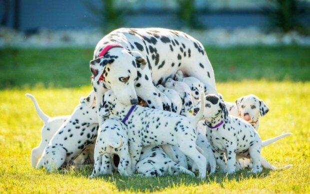 мама-далматинець народила рекордну кількість цуценят