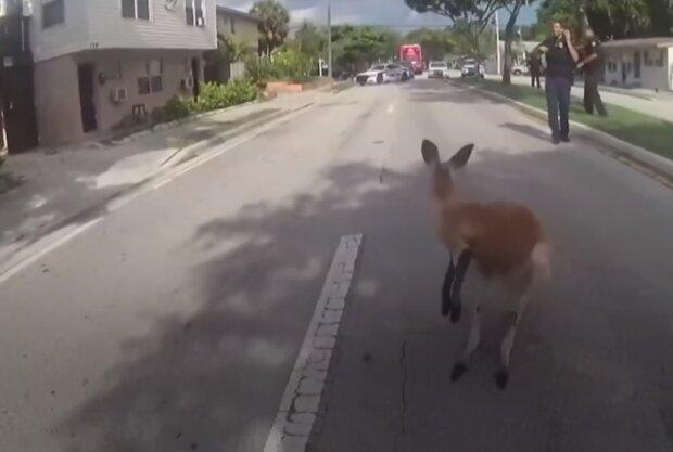 Задержание кенгуру, скриншот видео